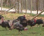 Flock of turkeys